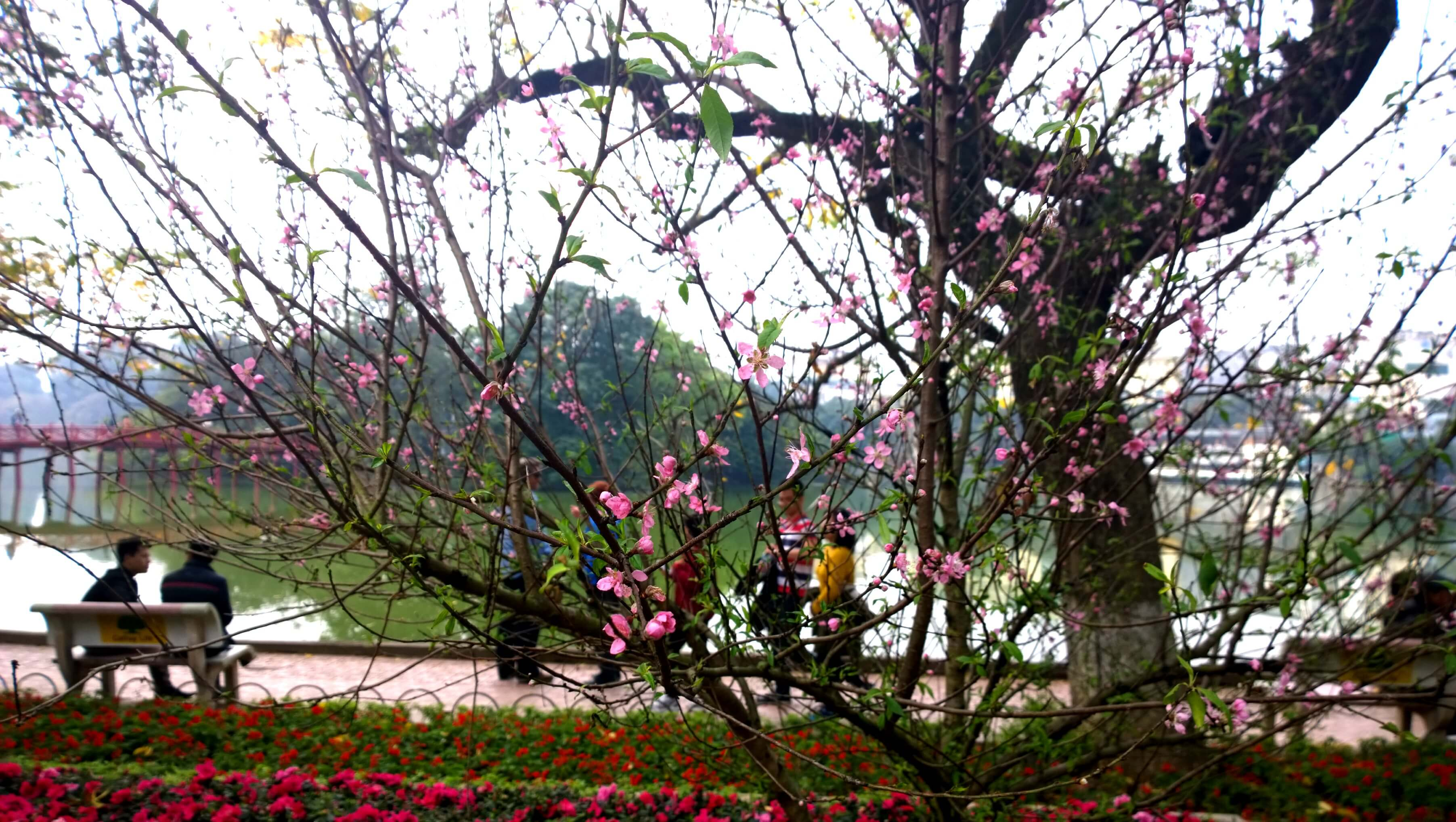 Cherry Blossom being sold by Hoan Kiem Lake. - Source: Internet